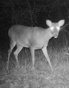 deer_nighttime_photo